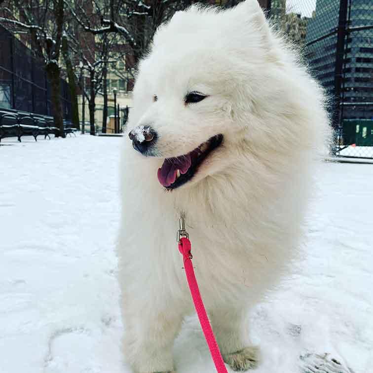 Dog Daycare NYC Luka the American Eskimo