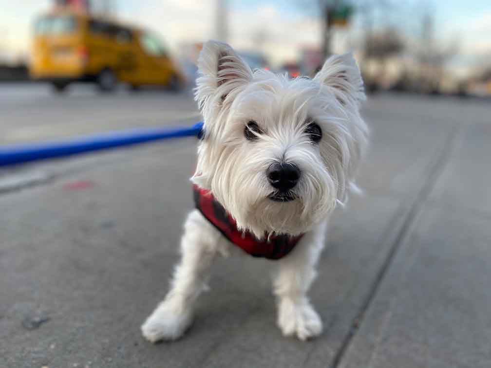 West Highland White Terrier at Dog Daycare NYC