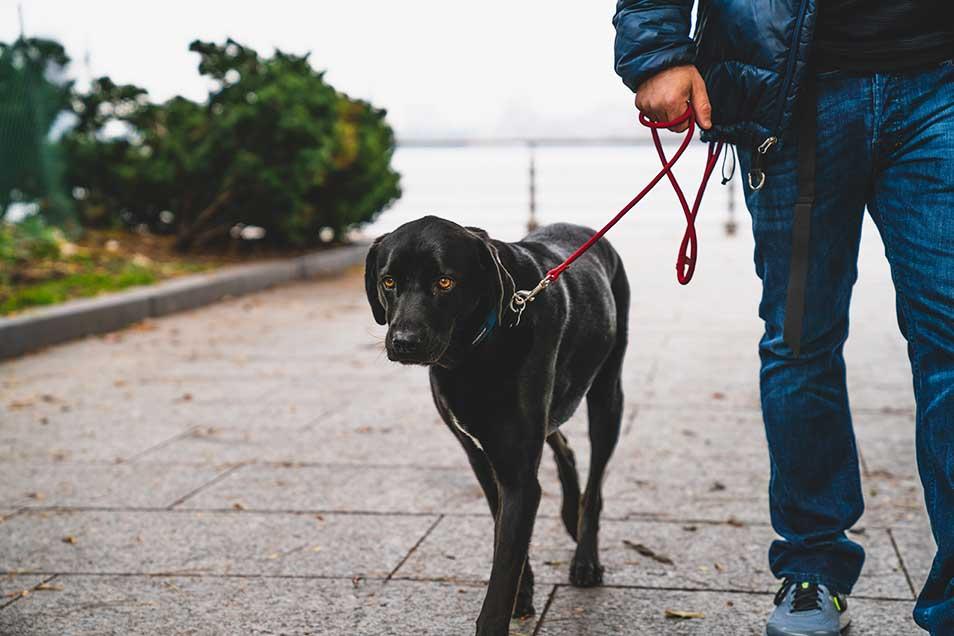 Dog run with the beast master black dog walking