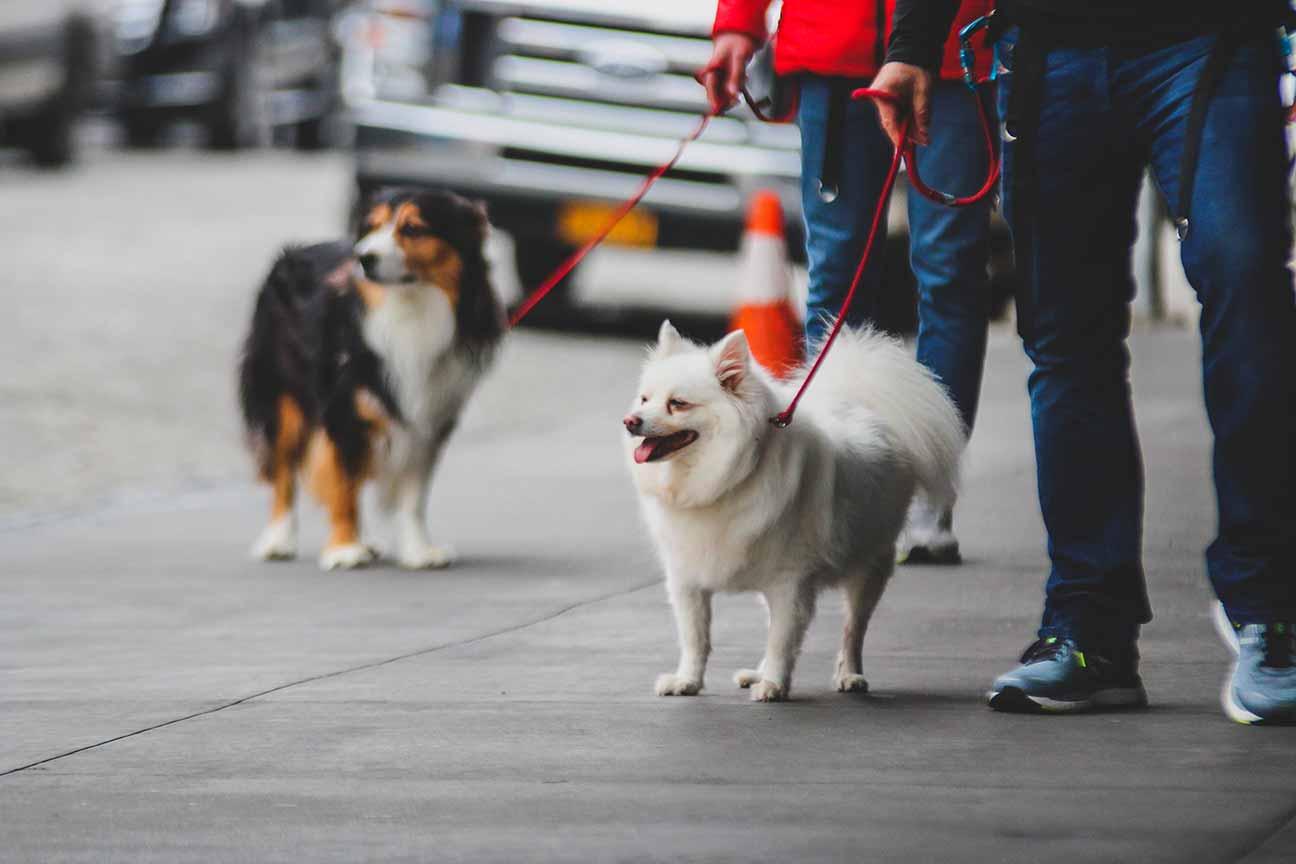 Dogman dog walking Australian Shepherd Tails in the City